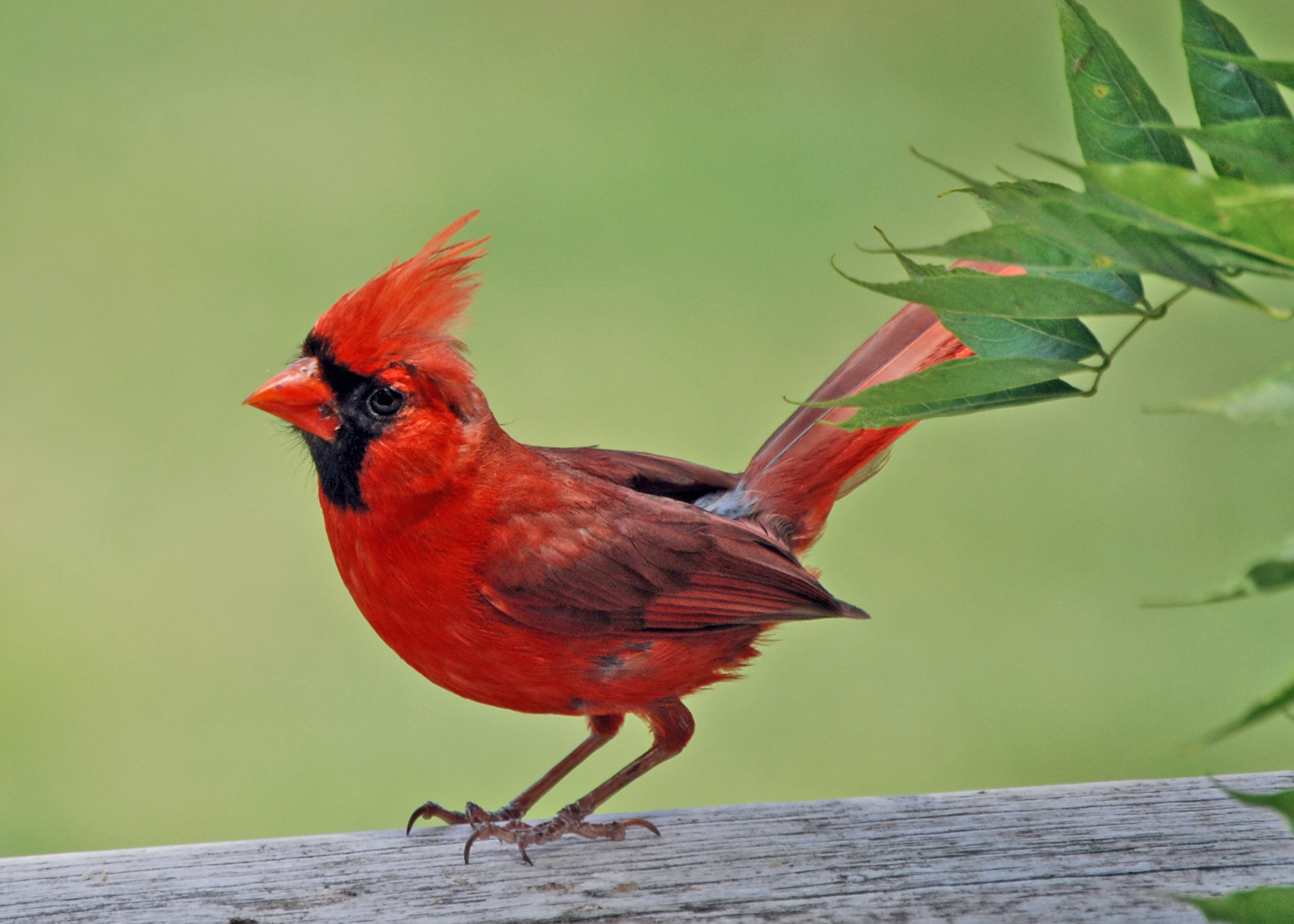 See A Red Bird